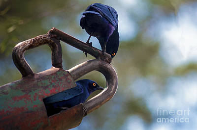 Greater Blue-eared Starlings Original