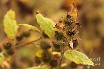 Greater Burdock Photograph - Greater Burdock 1 by Marcin Rogozinski