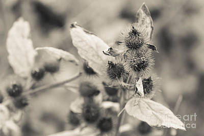 Greater Burdock Photograph - Greater Burdock 2 by Marcin Rogozinski