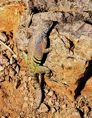 Photograph - Greater Earless Lizard by Allen Sheffield