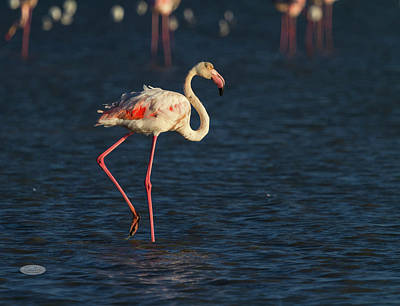 Photograph - Greater Flamingo, Phoenicopterus Roseus, In Camargue, France by Elenarts - Elena Duvernay photo
