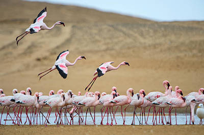 Of Birds Photograph - Greater Flamingos Phoenicopterus by Panoramic Images