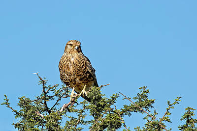 Photograph - Greater Kestrel 1 by Kay Brewer