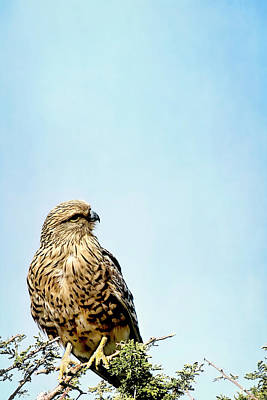 Photograph - Greater Kestrel 2 by Kay Brewer