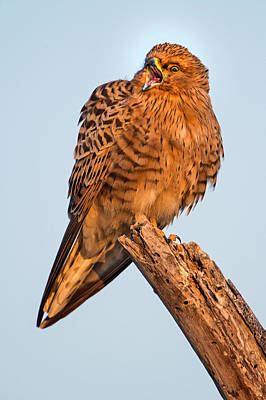Kestrel Photograph - Greater Kestrel Falco Rupicoloides by Panoramic Images