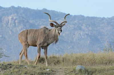 Photograph - Greater Kudu 2 by Fraida Gutovich