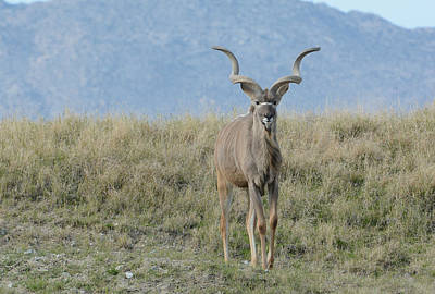 Photograph - Greater Kudu 3 by Fraida Gutovich