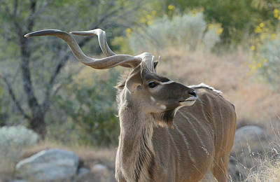 Photograph - Greater Kudu 4 by Fraida Gutovich