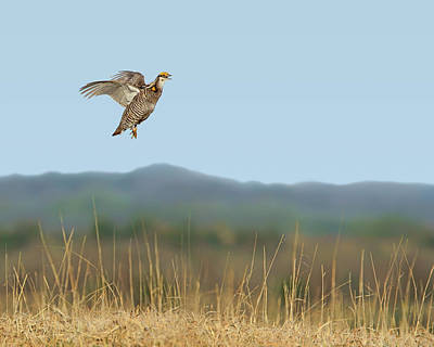 Photograph - Greater Prairie Chicken - Flight by Nikolyn McDonald
