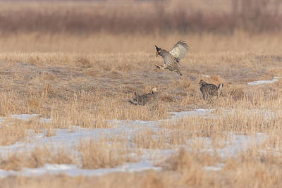 Photograph - Greater Prairie Chickens 2018-1 by Thomas Young