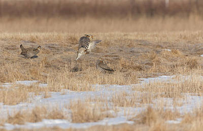 Photograph - Greater Prairie Chickens 2018-2 by Thomas Young