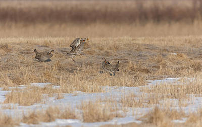 Photograph - Greater Prairie Chickens 2018-3 by Thomas Young