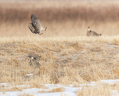 Photograph - Greater Prairie Chickens 2018-4 by Thomas Young