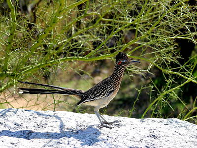 Photograph - Greater Road Runner by David Dunham