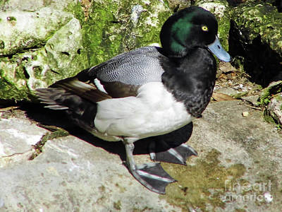 Photograph - Greater Scaup by D Hackett