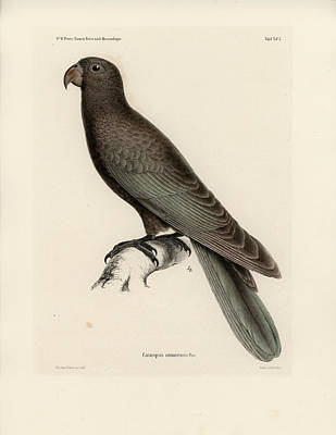 Drawing - Greater Vasa Parrot by J D L Franz Wagner