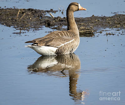 Photograph - Greater White Fronted Goose by Ricky L Jones