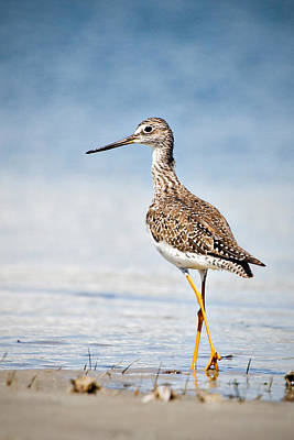 Art Print featuring the photograph Greater Yellow Legs At Rachel Carson Estuarine Reserve by Bob Decker