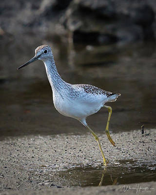Photograph - Greater Yellowlegs - 4260,s by Wally Hampton