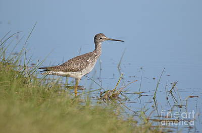 Photograph - Greater Yellowlegs by Kathy Gibbons
