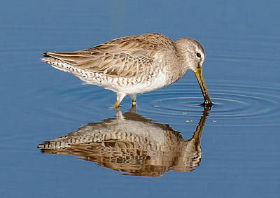 Photograph - Greater Yellowlegs by Phil Stone