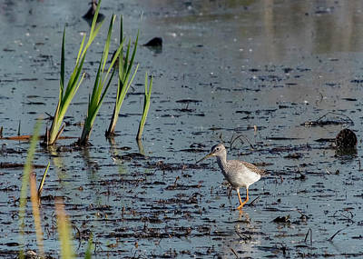 Photograph - Greater Yellowlegs by Ron Grafe