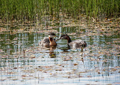 Photograph - Grebe Breakfast by Gloria Anderson