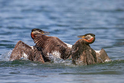 Photograph - Grebe Fight by Gary Hall