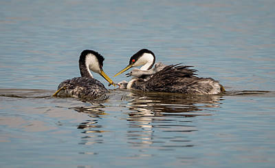 Photograph - Grebes Feeding Their Babies by Loree Johnson