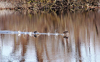 Photograph - Grebes On The Run by Debbie Oppermann