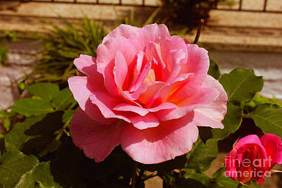 Photograph - Greece's Perfect Rose by Donna L Munro