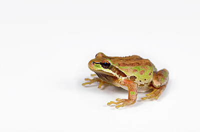 Spring Peepers Photograph - Green And Brown Frog On White Background by Thomas Baker