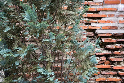 Georgia Red Clay Photograph - Green And Red - Cypress Branches Over Antique Roman Brick Wall by Georgia Mizuleva