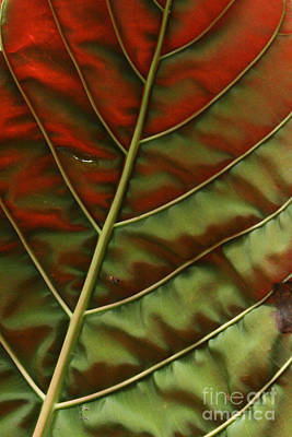 Photograph - Green And Red Leaf Silky Dunes 2 by Jennifer Bright