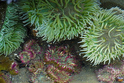 Photograph - Green And Strawberry Anemonies by Chuck Flewelling