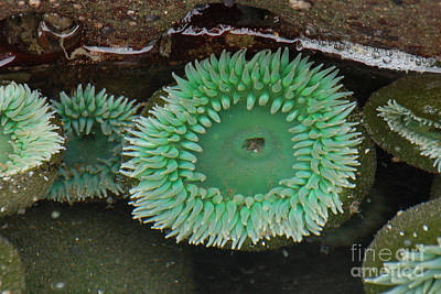 Photograph - Green Anemone by Chuck Flewelling