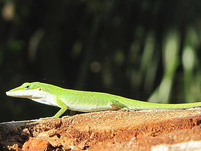 Photograph - Green Anole 000 by Chris Mercer