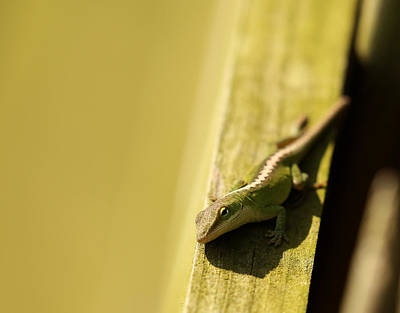 Photograph - Green Anole Lizard by Judy Vincent