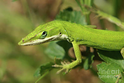 Photograph - Green Anole Lizard  by Olga Hamilton