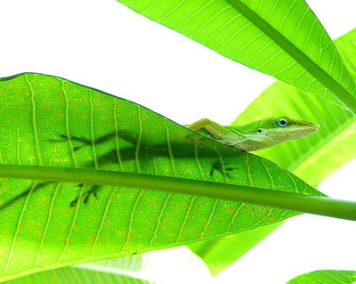 Lizard Photograph - Green Anole On Leaf With Silhouette by Joseph Connors