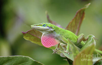 Photograph - Green Anole by Terri Mills