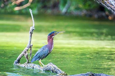 Photograph - Green Backed Heron by Pamela Williams
