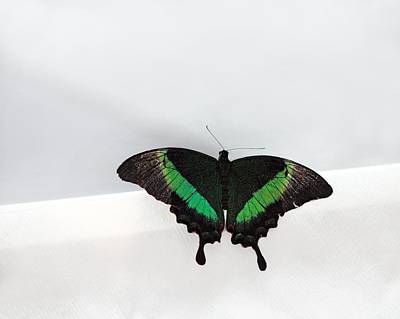 Photograph - Green-banded Swallowtail by Angela Murdock