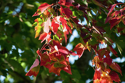 Photograph - Green Becoming Red by Tom Cochran