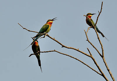Photograph - Green Bee Eater by Manjot Singh Sachdeva