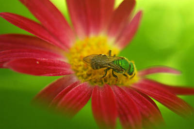 Photograph - Green Bee by Heidi Hermes