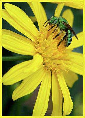 Bee On Flower Photograph - Green Bee On Yellow Daisy by Carol Groenen