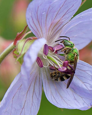 Photograph - Green Bee by Tatiana Travelways