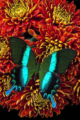 Chrysanthemum Photograph - Green Blue Butterfly by Garry Gay