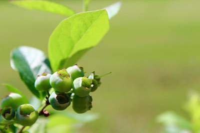 Rusty Trucks - Green Blueberries on the Bush by Mandy Elliott